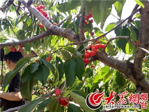 终于等到樱桃树可以结果的时候,果农的工作量一下子大了起来,在图片