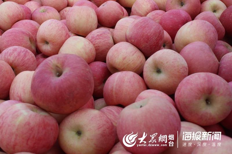 """富士山在日本哪里也倍受不少年青""""洛川苹果""""""""陕西苹果苗种植基地果粉""""的青睐(图2)"""